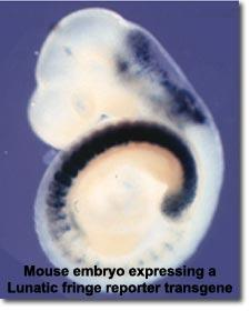 Fig. 1 - Mouse embryo expressing a Lunatic fringe reporter transgene