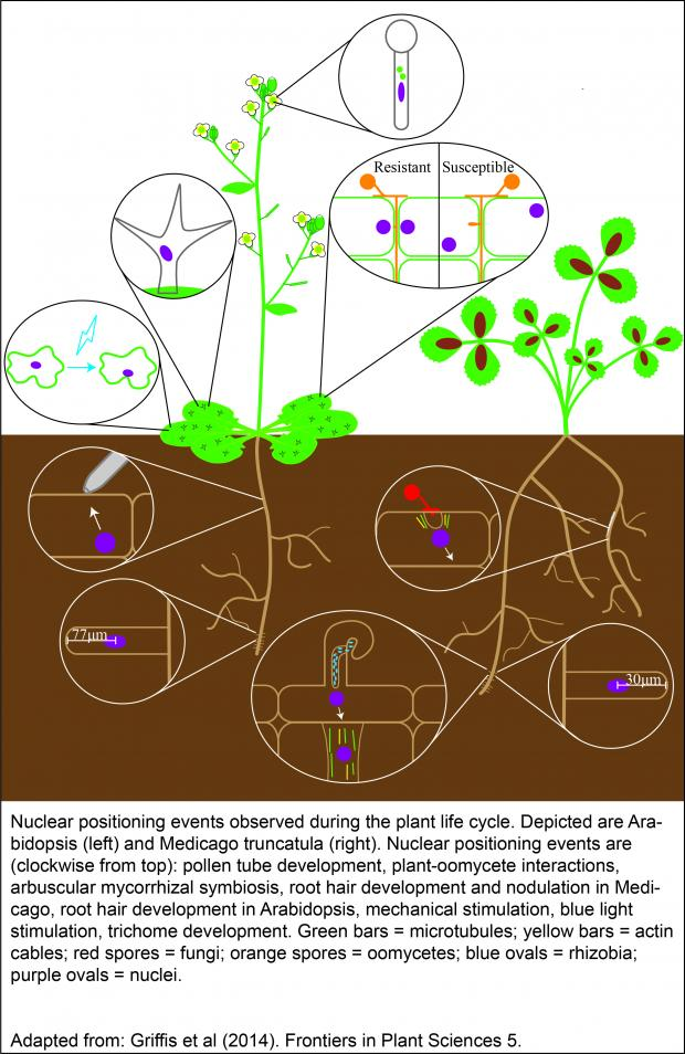Nuclear positioning events observed during the plant life cycle.