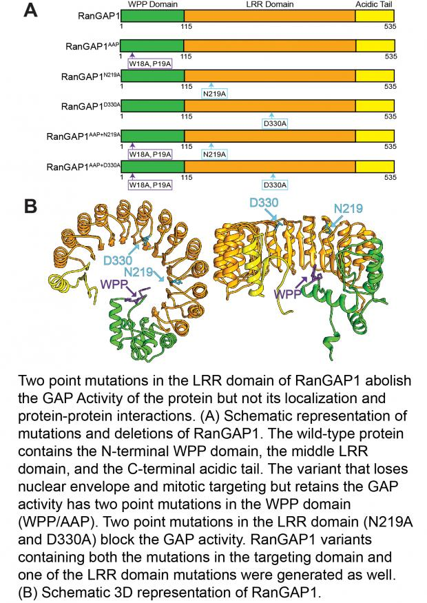 Two point mutations in the LRR domain of RanGAP1 abolish the GAP Activity of the protein but not its localization and protein-protein interactions.