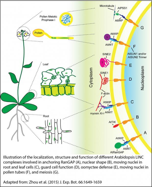 Illustration of the localization, structure and function of different Arabidopsis LINC complexes involved in anchoring RanGAP