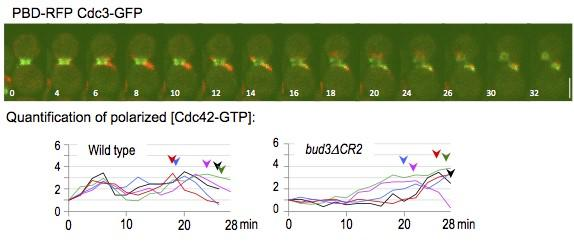 Biphasic activation of the Cdc42 GTPase in G1